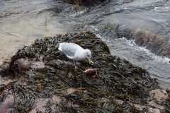 Seagull Dining on Crab