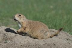 Prairie Dog Portrait