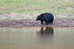 Thirsty Black Bear