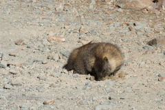 Marmot (?)
