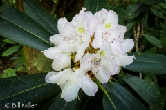 Rhododendron bloom.
