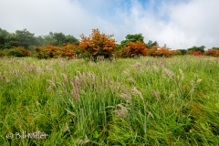 Meadow grasses and flame azaleas.